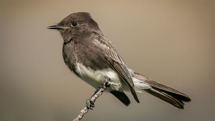 The black phoebe has a distinctive inverted V where its white underbelly meets its dark chest.