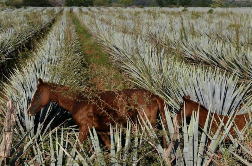 El consumo de fructanos extraídos de la planta del agave, con la que se elabora el tequila, puede ayudar a disminuir el peso corporal y combatir el síndrome metabólico que genera la obesidad, además de la diabetes, la hipertensión y la osteoporosis, señalaron hoy expertos mexicanos. EFE/ARCHIVO