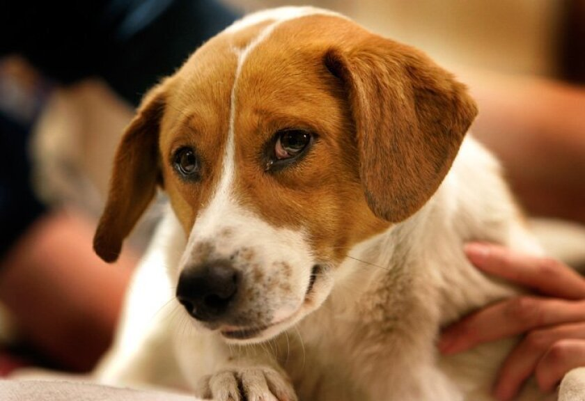A beagle looks around April 3, 2009 while waiting to be neutered at the San Diego Humane Society. (Howard Lipin / Union-Tribune)