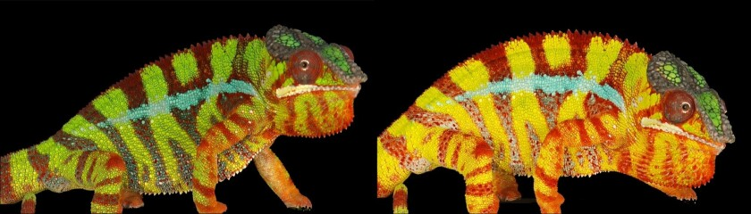 This color-changing panther chameleon uses both pigments as well as structural color to switch from blues and greens to reds and yellows in a matter of minutes.