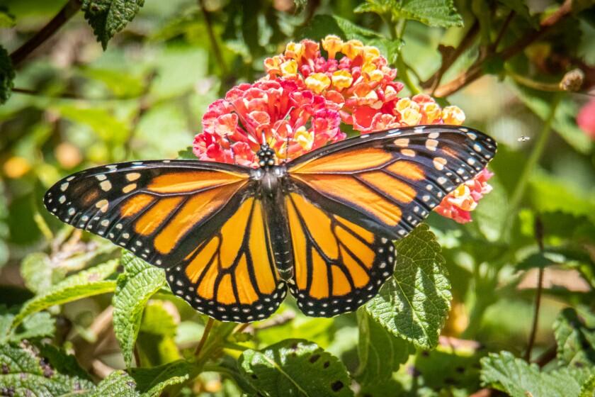 Monarch Butterfly on Lantana.jpg
