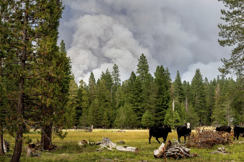 FILE - In this Monday, July 26, 2021, file photo, cows graze as smoke rises from the Dixie Fire burning in Lassen National Forest, near Jonesville, Calif. A historic drought and recent heat waves tied to climate change have made wildfires harder to fight in the American West. On Friday, Aug. 13, 2021, U.S. weather officials said Earth in July was the hottest month ever recorded. (AP Photo/Noah Berger, File)