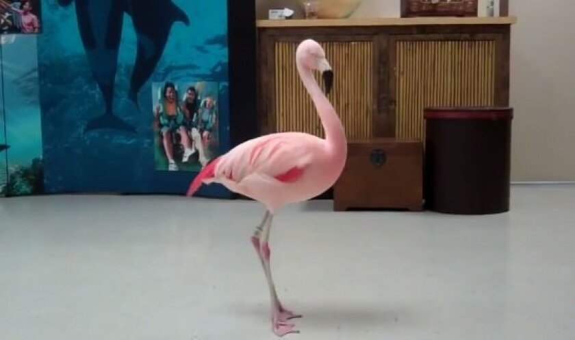 The dancing flamingo named Pinky  is seen in this still shot from Busch Gardens video.