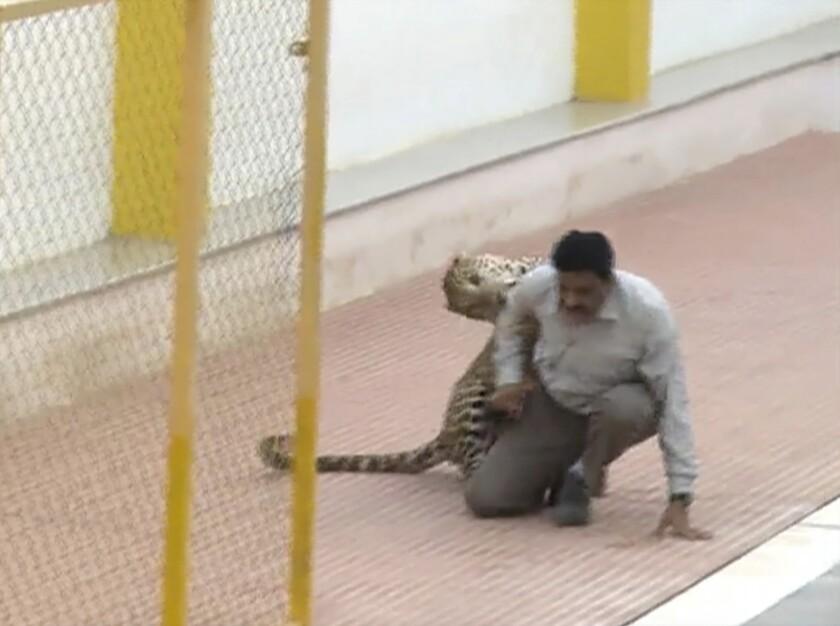 Imagen captada de un video donde se ve un leopardo atacando a un hombre en una escuela en la India. Un leopardo que estaba merodeando en una escuela en el sur de India hirió a tres personas cuando trataban de atraparlo. Una multitud de curiosos que incluían reporteros de televisión atestiguaron la persecución, la cual duró varias horas hasta que los trabajadores forestales dispararon un dardo tranquilizador al animal. (Foto AP/APTN)