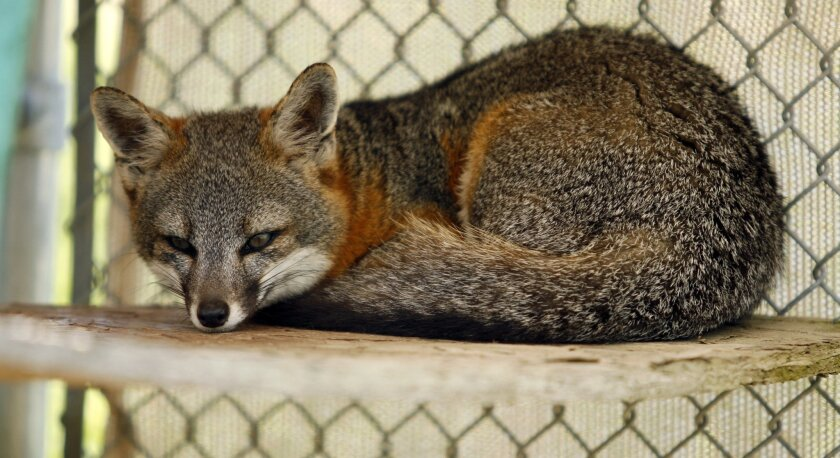 FILE - This June 9, 2006 file photo shows an endangered island fox in a National Park Service captive-breeding facility on Santa Rosa Island in the Channel Islands National Park off the coast of Southern California. Native foxes on islands off the California coast were once on the brink of extincti