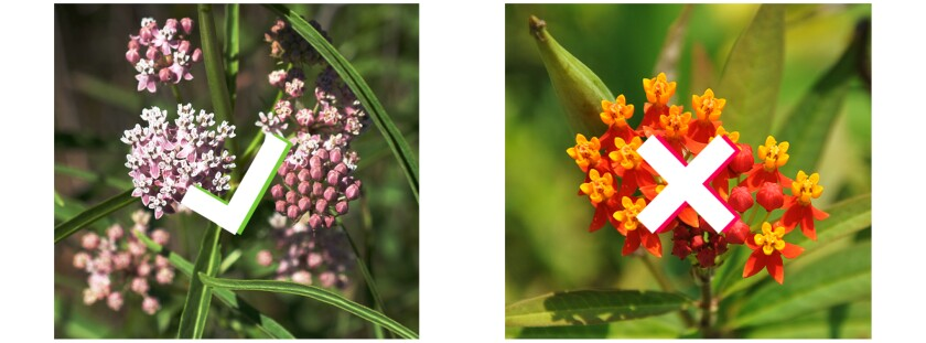 A pink narrow-leaf milkweed next to an orange tropical milkweed.