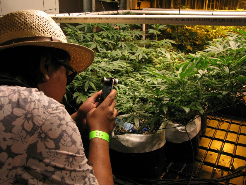 A weed tour member photographs marijuana plants at La Conte's Clone Bar and Dispensary grow house in Denver.