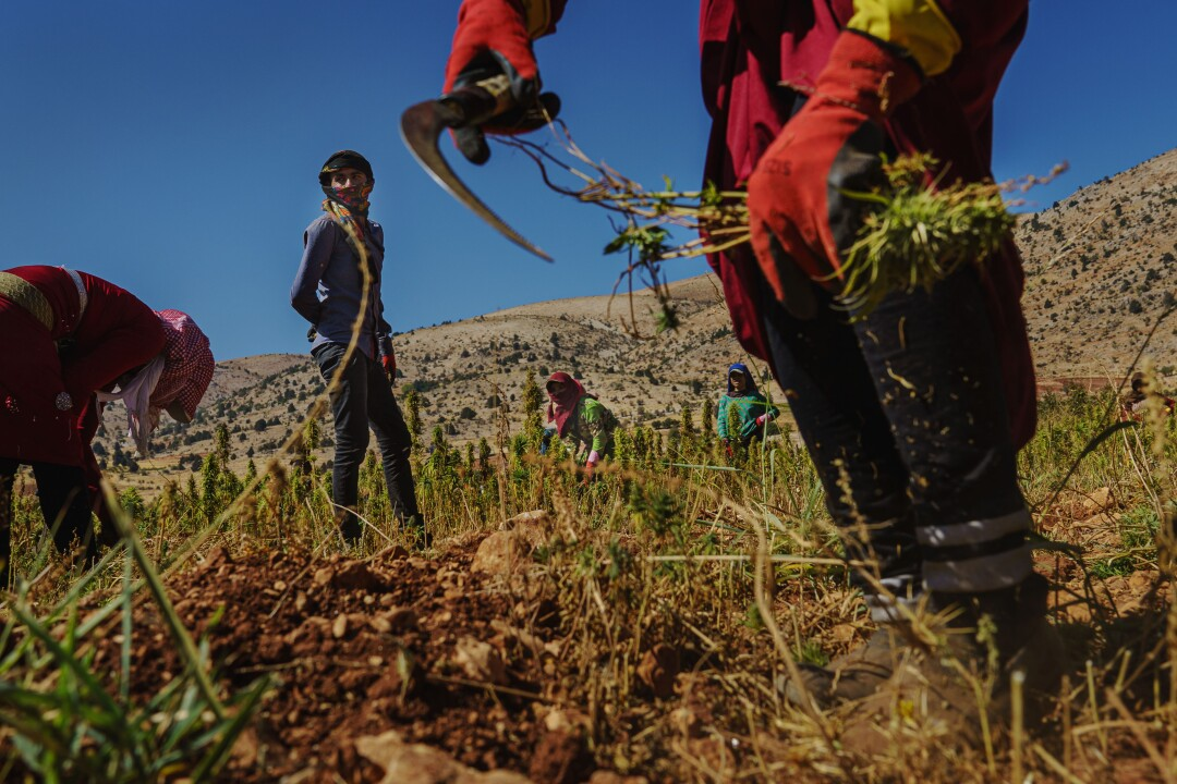 Farmworkers harvest cannabis plants at a plantation in Yammouneh, Lebanon.