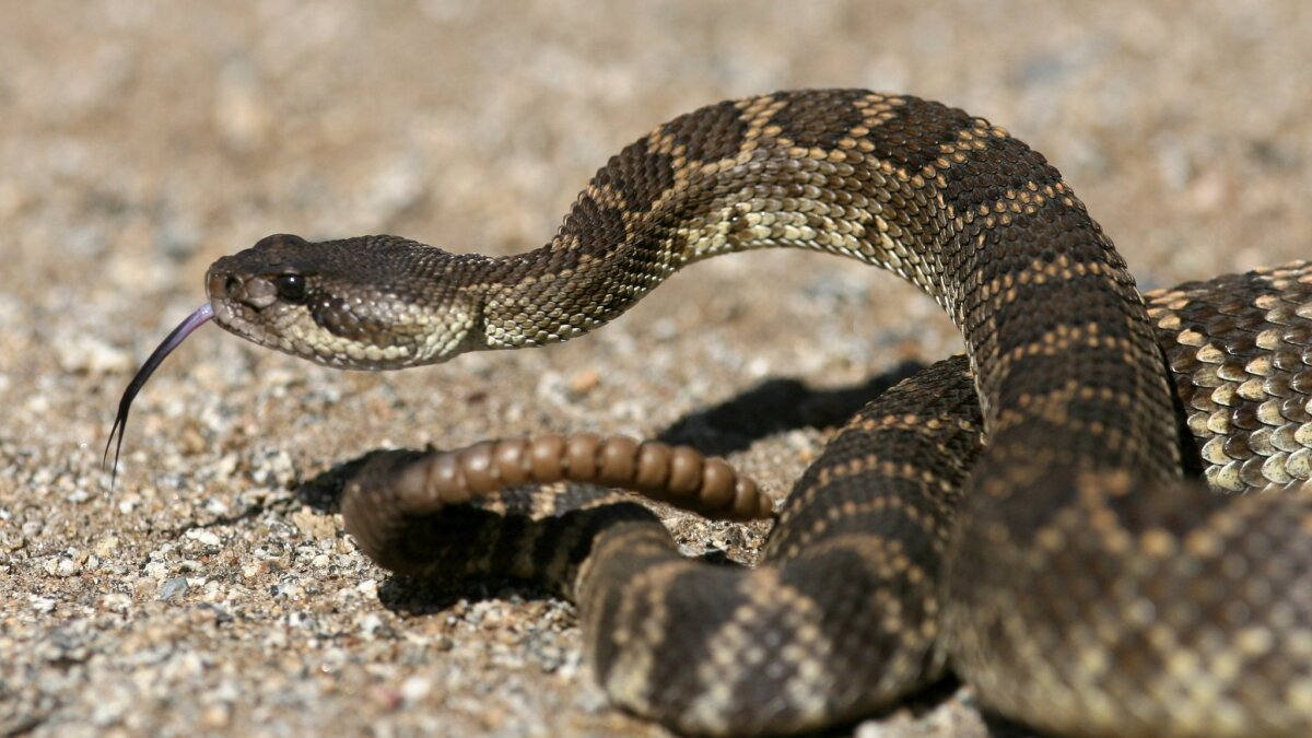 REGION: Rattlesnake-aversion classes go on the down-low