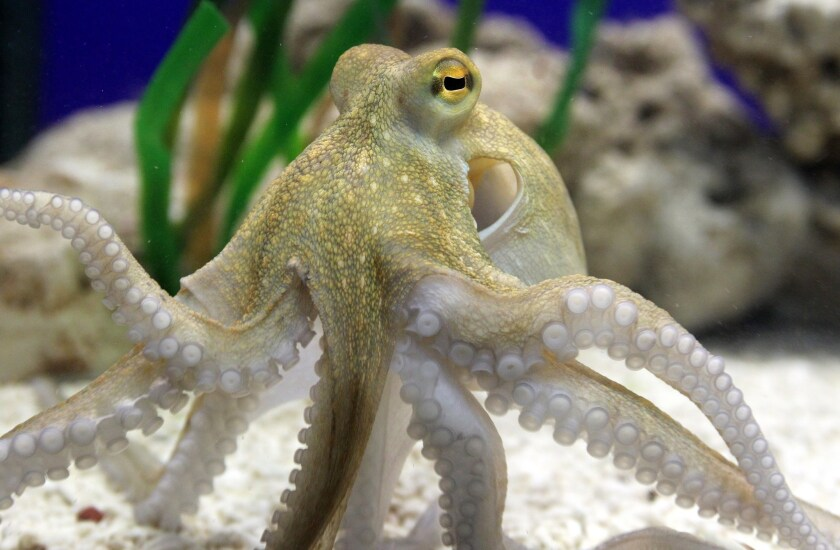 Op-Ed: What the octopus can teach us
