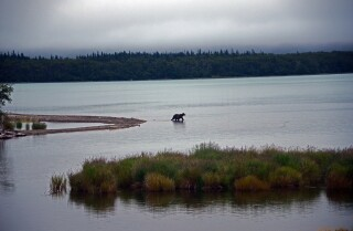 A minute away: Bathing bears, falling man, Naknek Lake, Alaska