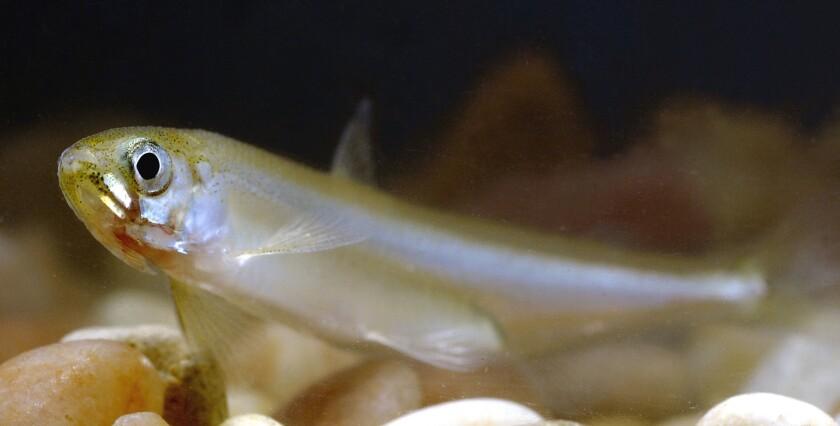 A delta smelt fish