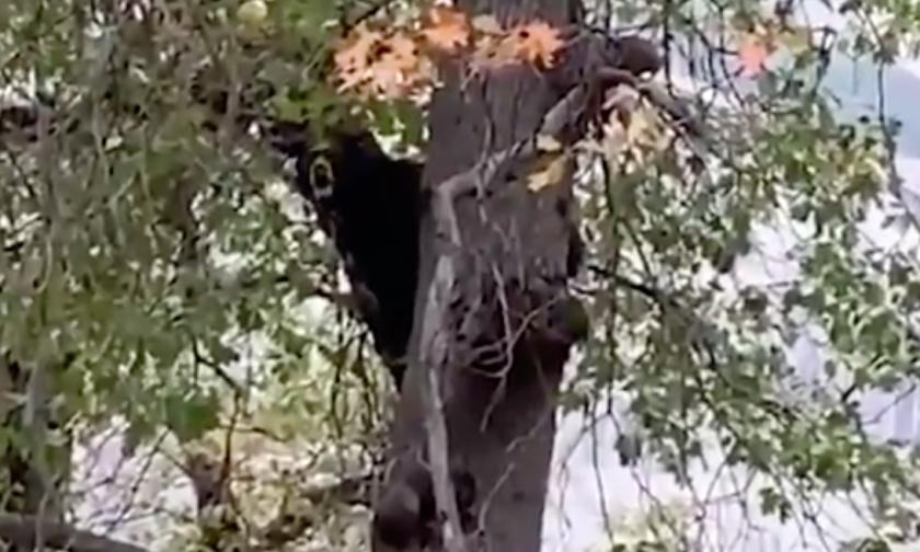 Black bear in a tree in Yosemite National Park.