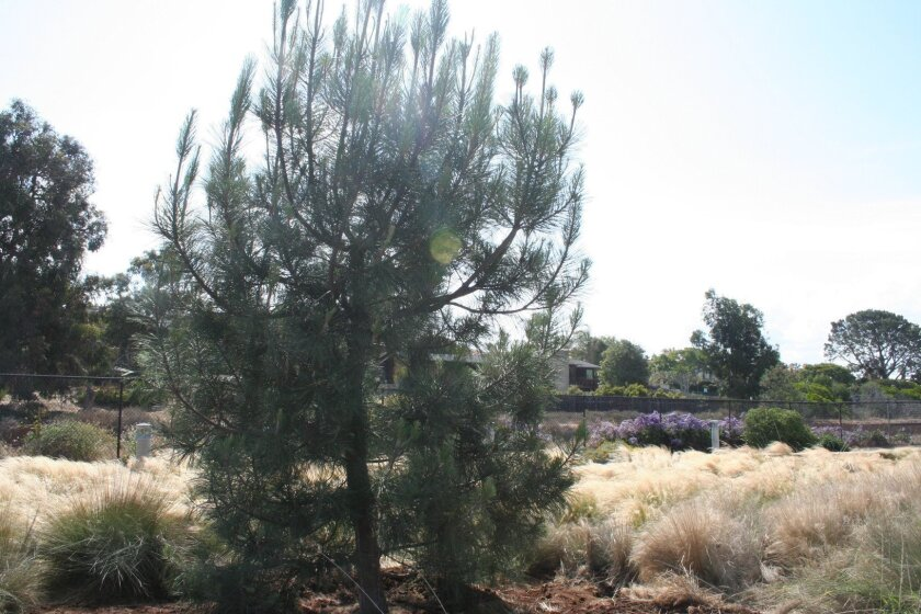 The new Torrey pine is 15 feet tall and about eight years old.