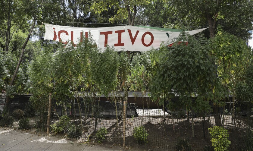 Marijuana plants grow at a makeshift camp outside of the Senate building in Mexico City, Thursday, Nov. 19, 2020. Mexican marijuana activists have been camping outside the Senate since February of this year, growing a crop of marijuana plants and smoking it as a way to pressure the government into legalizing recreational cannabis. (AP Photo/Eduardo Verdugo)