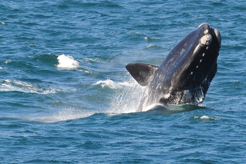 Scientists say it is possible -- and efficient -- to count southern right whales using satellite imagery from space.