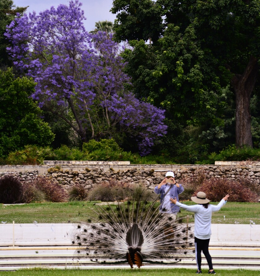 Visitors pose with a peacock amid the splendor of blooming jacaranda trees at the Arboretum.