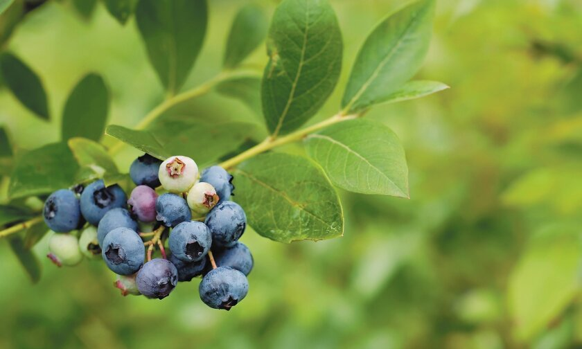 If the pH of your garden's soil is much above 5.5, acid-loving plants like blueberries will have difficulty absorbing iron.