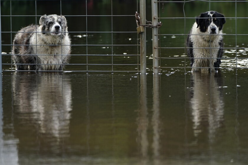 Two dogs look out from a flooded field