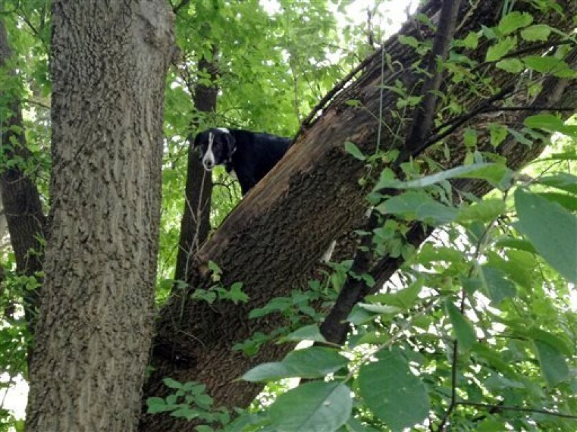 This Aug. 11, 2013, photo provided by Ron Stevenson shows Laddy, a border collie, who was found Sunday stuck up in a tree two blocks from his Davenport home, Iowa. Cynthia Weeks, his owner, said she believes Laddy escaped Friday from an invisible electronic fencing system thanks to a non-working battery in his collar. She said his love for squirrels and chasing things probably led him up the tree. Despite a few abrasions on the pads of his feet, he's otherwise fine. (AP Photo/Ron Stevenson) MAN
