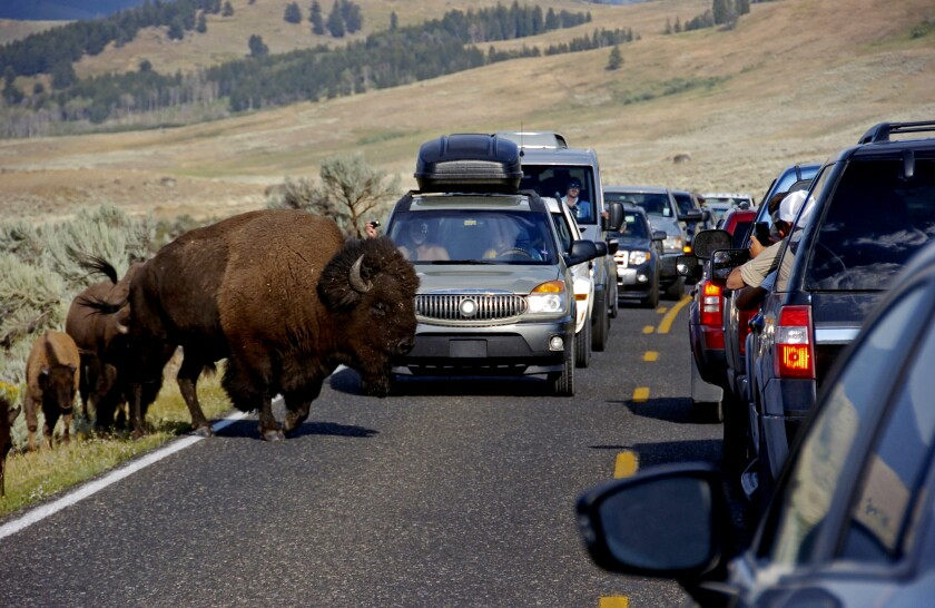 A large bison blocks traffic as crowds of tourists take photos in the Lamar Valley of Yellowstone National Park, Wyo. The park's superintendent says he's being forced out for what appear to be punitive reasons following disagreements with the Trump administration over how many bison the park can sustain.