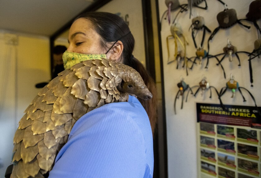 Veterinary nurse, Alicia Abbott, of the African Pangolin Working Group in South Africa holds a pangolin, at a Wildlife Veterinary Hospital in Johannesburg, South Africa, Sunday, Oct. 18, 2020. The group have been rehabilitating pangolins rescued from poachers for nearly a decade.(AP Photo/Themba Hadebe)