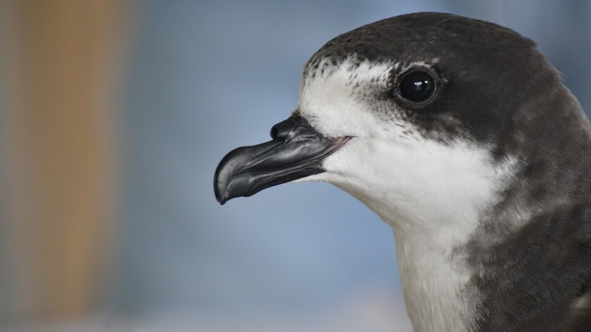Only 75 pairs of Hawaiian petrels, also called u'au, nest on Hawaii Island. Until the construction of a new fence, their nesting grounds have been threatened by feral cats that prey on them.