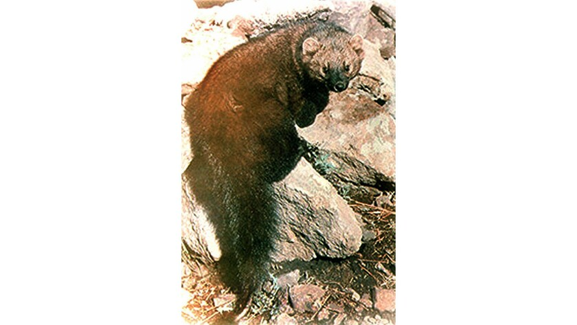 The Pacific fisher, the largest member of the weasel family.
