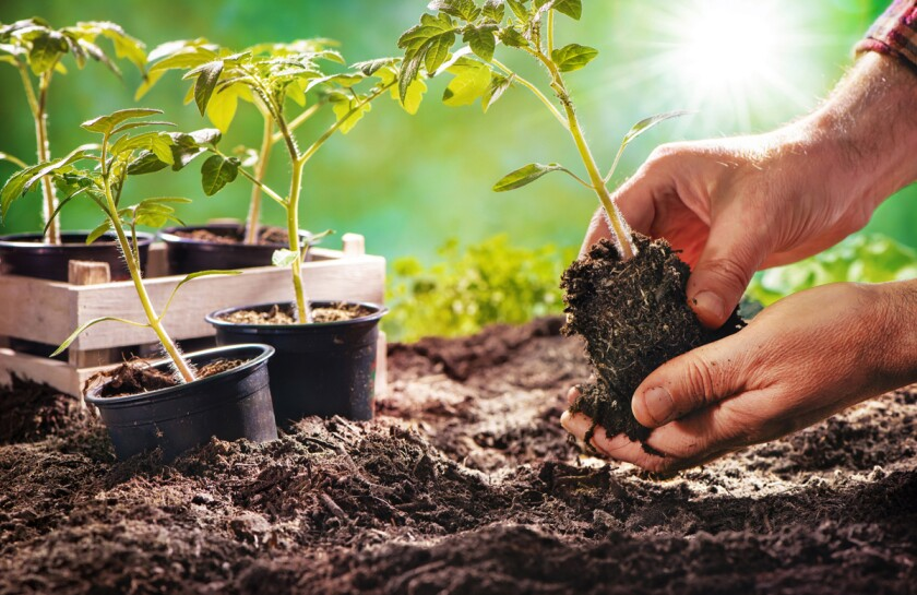 Tomatoes, one of the warm-season vegetables, do better if they are started indoors and then transplanted as seedlings.