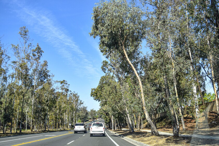 The trees along Twin Peaks Road will be evaluated and some removed as part of the project.