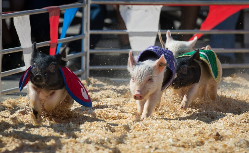 The Swifty Swine Racing Pigs will entertain several times in the Durante Arena.
