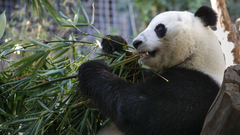 Xiao Liwu, a 6-year-old male panda, munches on bamboo Thursday at the San Diego Zoo, where he was born. The lives of pandas revolve around bamboo, which is nearly the only food they eat.