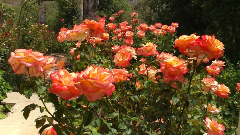 There S A Rose For That The San Diego Union Tribune