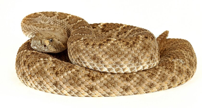 Rattlesnakes are out early and dogs of all shapes and sizes are vulnerable to their lethal bites.