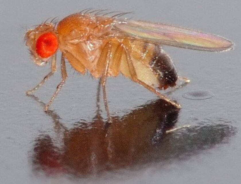 Drosophila (aka, the common fruit fly)