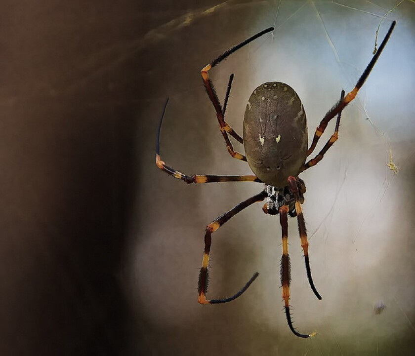 Golden orb-weaving spiders grow bigger in cities, according to a study on the species in Sydney, Australia.