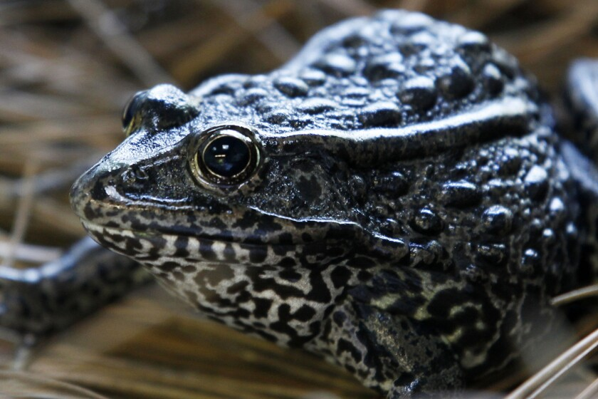 "FILE - In this Sept. 27, 2011, file photo, is a gopher frog at the Audubon Zoo in New Orleans. Federal wildlife officials are proposing limits on what can be declared as ""habitat"""" for imperiled plants and animals. The proposal to be announced Friday, July 31, 2020, and obtained in advance by The Associated Press would for the first time define ""habitat"" for purposes of enforcing the Endangered Species Act, the landmark law that has undergirded species protections efforts in the U.S. since 1973. (AP Photo/Gerald Herbert, File)"