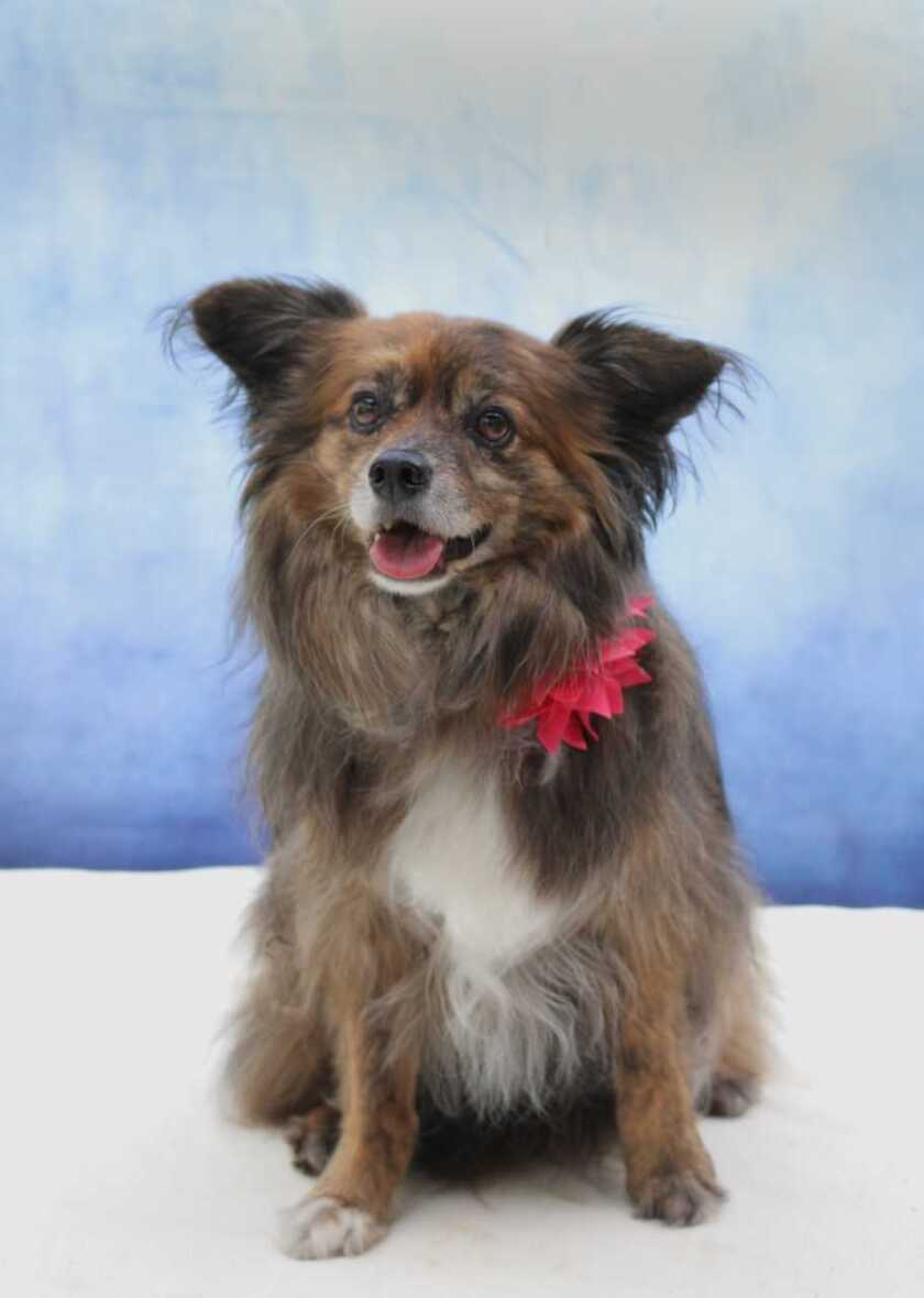 Brindie, 8-year-old, 18-pound female Shetland sheepdog/Pomeranian mix is pet of the week.
