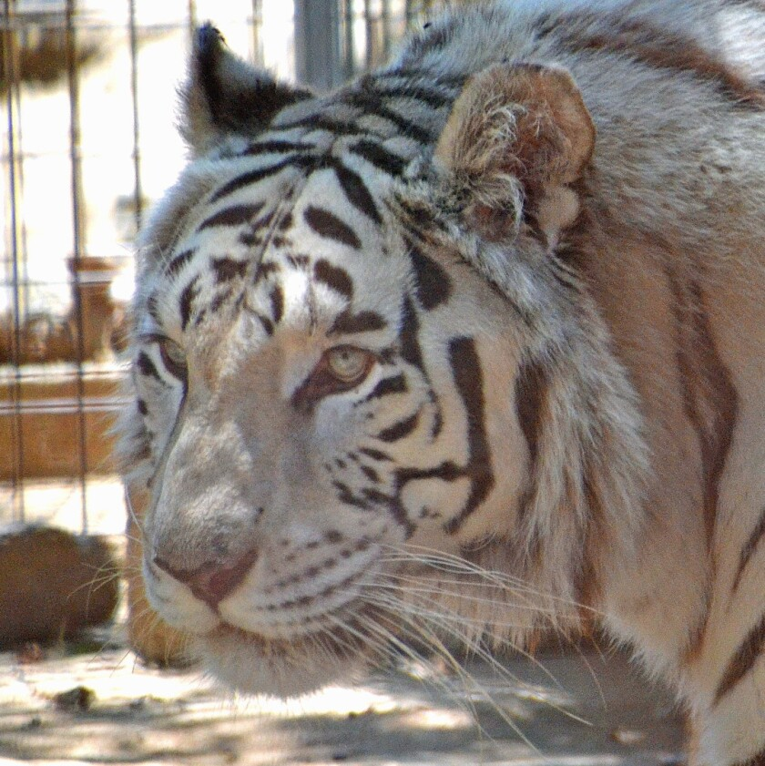 Lily the tiger was rescued and now lives at Rancho Las Lomas in Orange County, which has a wildlife preserve. She is a white tiger, which is rare.