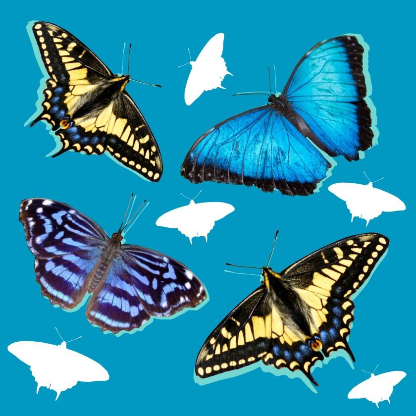An illustration of various butterflies
