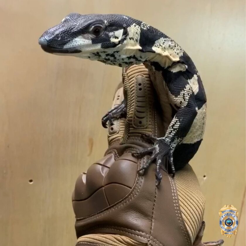 Police recovered two Australian monitor lizards about a year after they were stolen from a Long Beach reptile store.