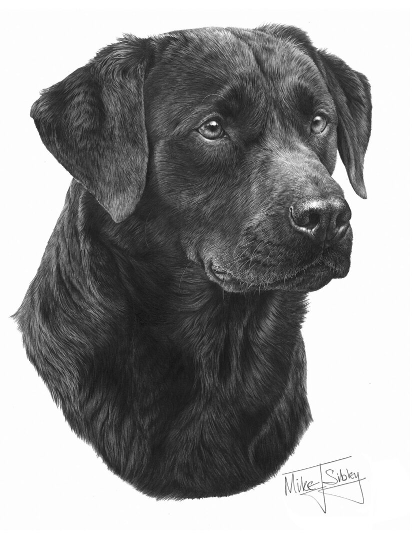 """Black Labrador""  (15 inches by 11 inches) by Mike Sibley"