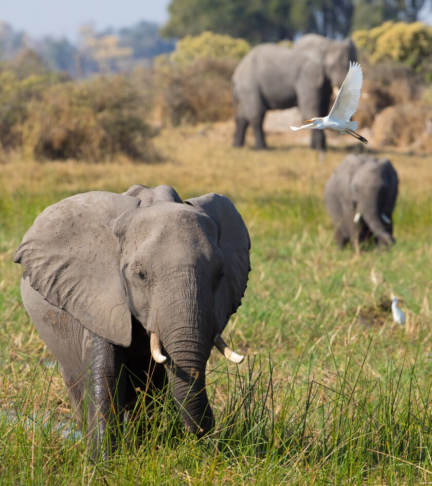 A white bird flies over a field with three elephants, two young and one adult.