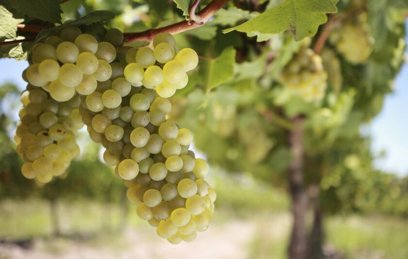 If you are starting a home vineyard, chardonnay grapes are a good choice.