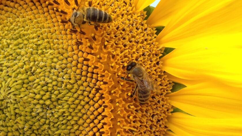 Bees love sunflowers.