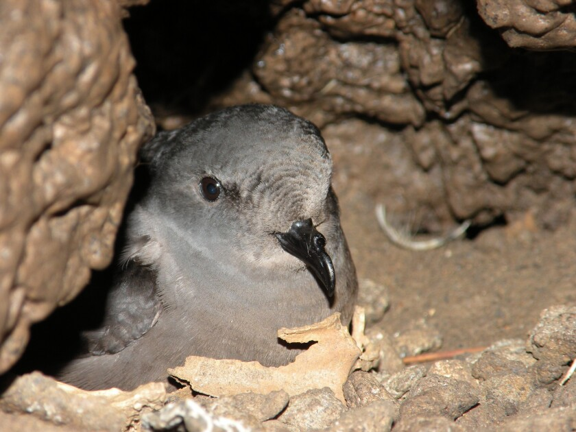 An ashy storm-petrel sits on an egg at Ship Rock on Santa Catalina Island.