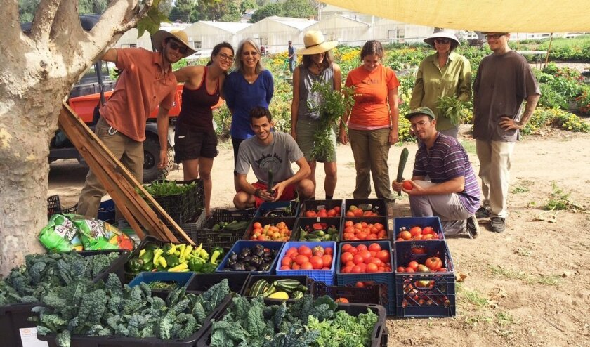 Luckily, the Shmita Farm had enough water to harvest more than 5,000 pounds of fresh veggies in one month, which were distributed to local food pantries here in North County.