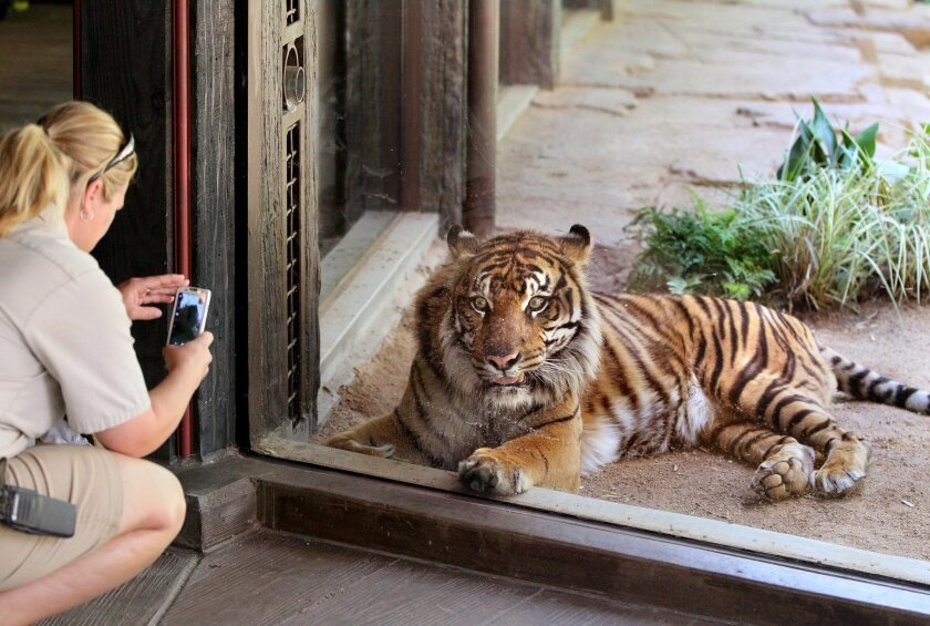 Animal keeper Jillian King takes a photo of one of the tigers at the new Tiger Trail exhibit at the San Diego Zoo Safari Park.