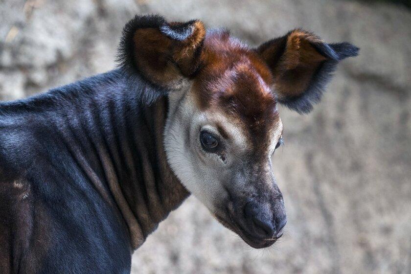 baby okapi at san diego zoo