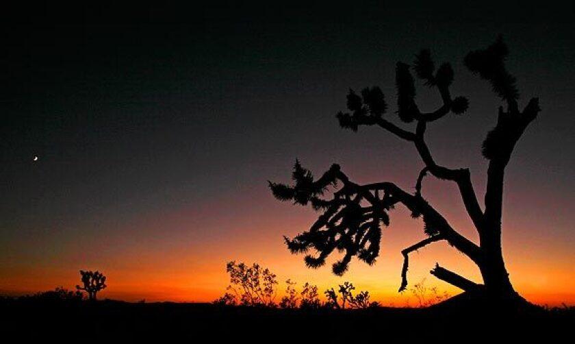 A Joshua tree frames the vast landscape.
